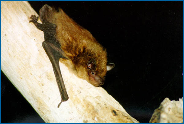 Maine Bat Control Of Mid Coast Wildlife Specialists shows you a big_brown_bat