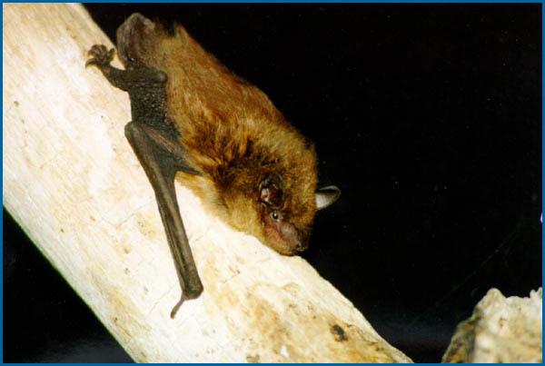 big_brown_bat