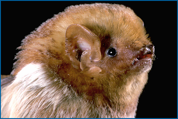 Maine Bat Control Of Mid Coast Wildlife Specialists shows you a Eastern Red Bat