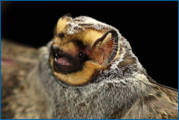 Maine Bat Control Of Mid Coast Wildlife Specialists shows you a Hoary Bat