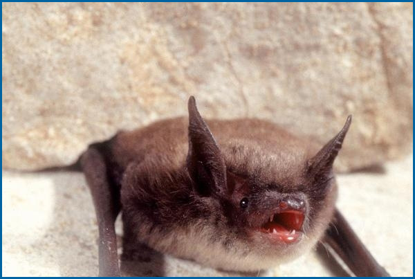 Maine Bat Control Of Mid Coast Wildlife Specialists shows you a Little Brown Bat