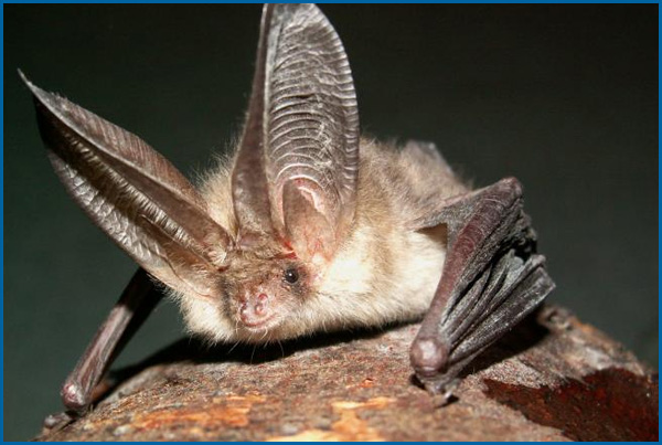 Maine Bat Control Of Mid Coast Wildlife Specialists shows you a Long Eared Bat
