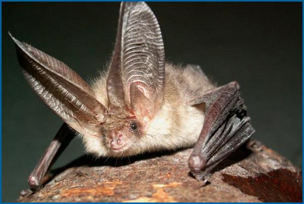 Northern Long Eared Bat