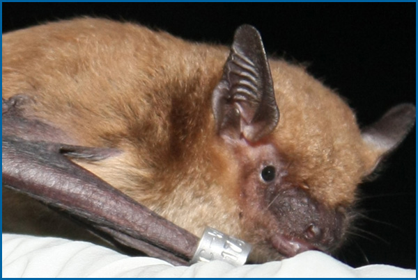 Maine Bat Control Of Mid Coast Wildlife Specialists shows you a Tri Colored Bat