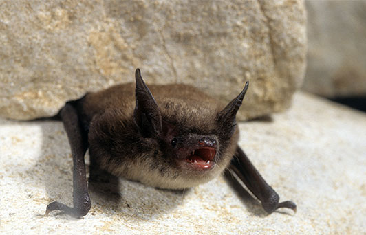 Little Browns Bats Invade Maine Homes photo