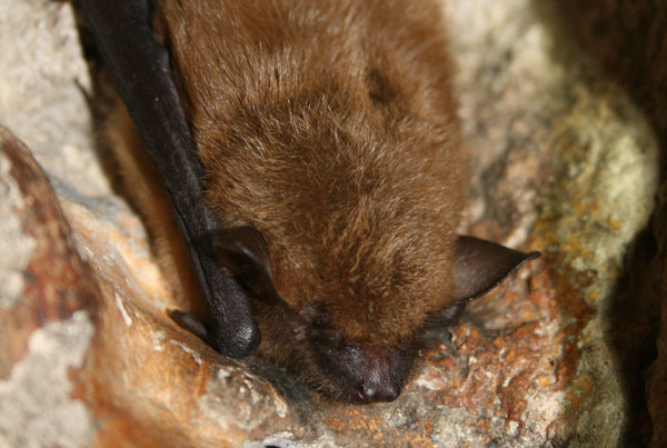 Maine Bat Control Of Mid Coast Wildlife Specialists shows you a big brown bat. Thanks to U.S. Fish and Wildlife Service Headquarters, Public domain, via Wikimedia Commons