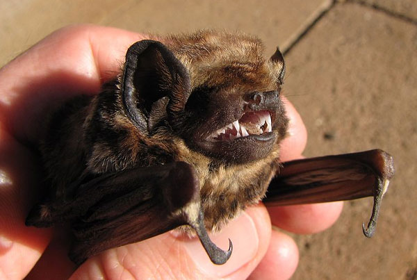 Maine Bat Removal. Thanks to Forest & Kim Starr, CC BY 3.0 US  via Wikimedia Commons