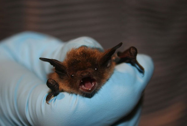 thanks to U.S. Fish and Wildlife Service Headquarters, Public domain, via Wikimedia Commons for the use of this little brown bat photo.